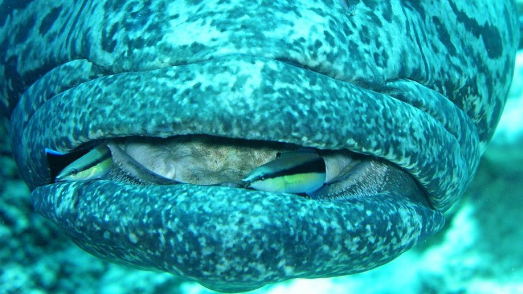 Weibliche und männliche Putzerfische haben unterschiedliche kognitive Fähigkeiten, wie zwei Neuenburger Forschende beobachtet haben. (Pressebild)