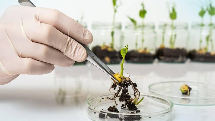 Hat ihren natürlichen Verwandten gegenüber Überlebensvorteile: eine genetisch veränderte Pflanze. Bild: Shutterstock