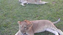 Die Löwen Ed und Lea - für einen Monat sollen sie den Amerikaner James Jablon im Käfig aushalten.