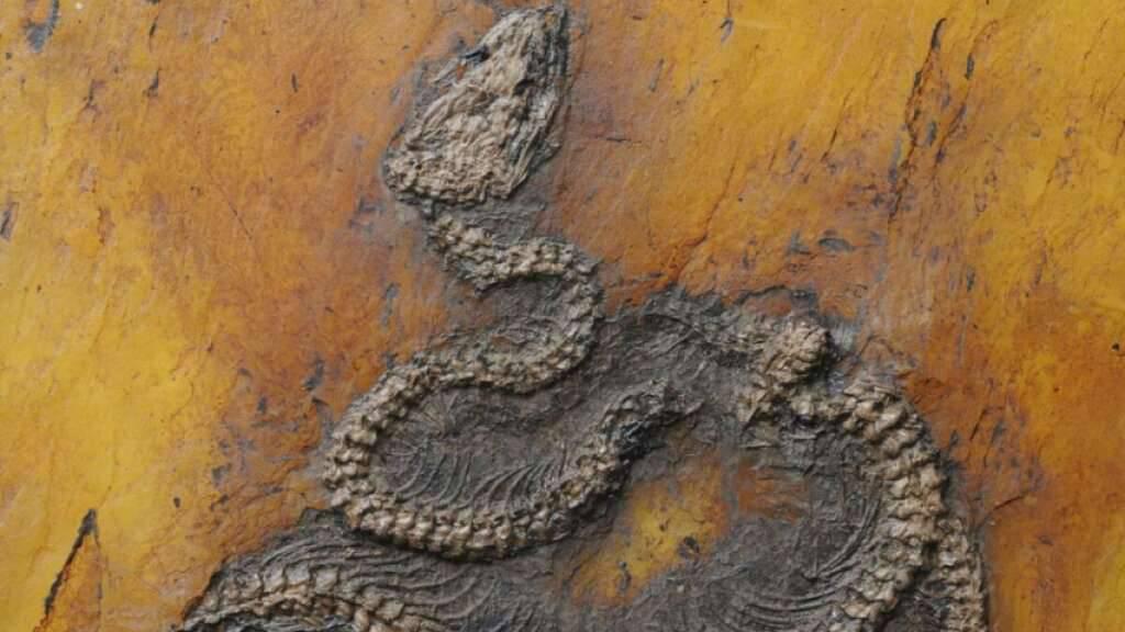 Älteste fossile Python im Welterbe Grube Messel entdeckt