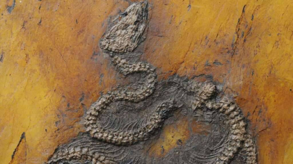 Die neu beschriebene Pythonart Messelopython freyi ist der älteste bekannte fossile Nachweis einer Python weltweit.