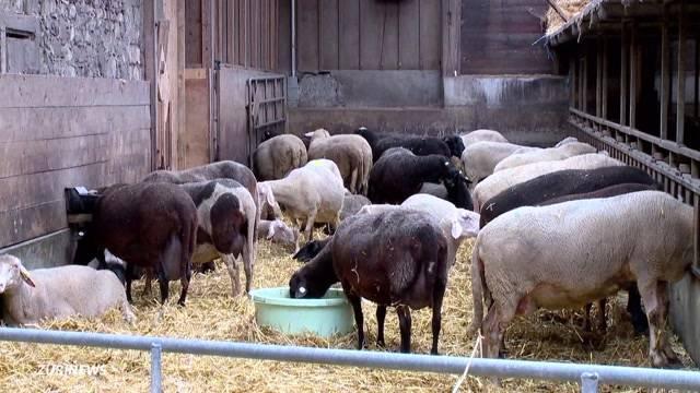 Über 200 Schafe vergiftet