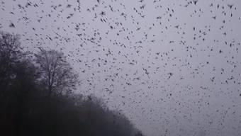 Gigantischer Bergfinken-Schwarm in Stilli gesichtet