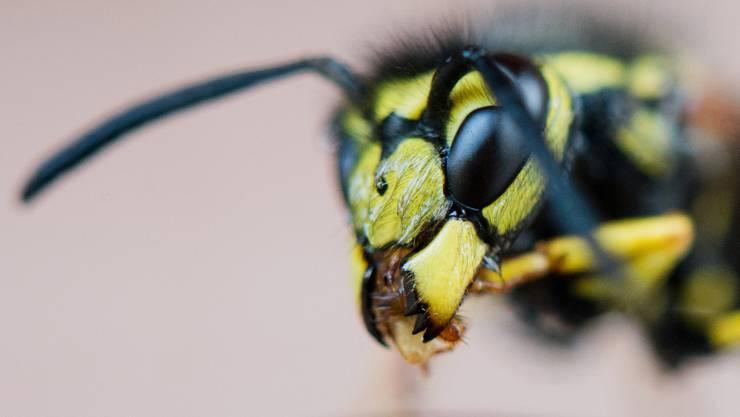 Wespenstiche können zu schmerzhaften Schwellungen und sogar Bewusstlosigkeit führen. (Symbolbild)