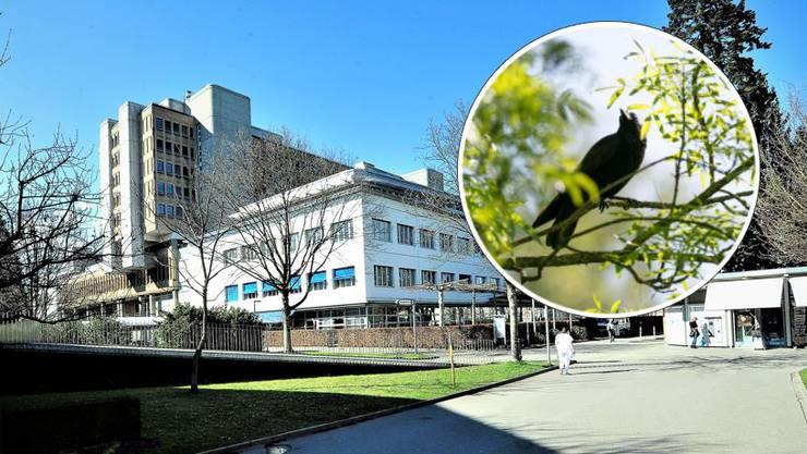 Die Krähen am Kantonsspital Aarau sorgen für Gesprächsstoff. (Symbolbild)