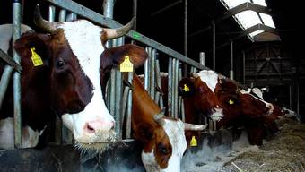 Diese Kühe dürfte es wenig kümmern, dass sie ihre Milch nun nicht mehr einem Verband, sondern einer Genossenschaft spenden.