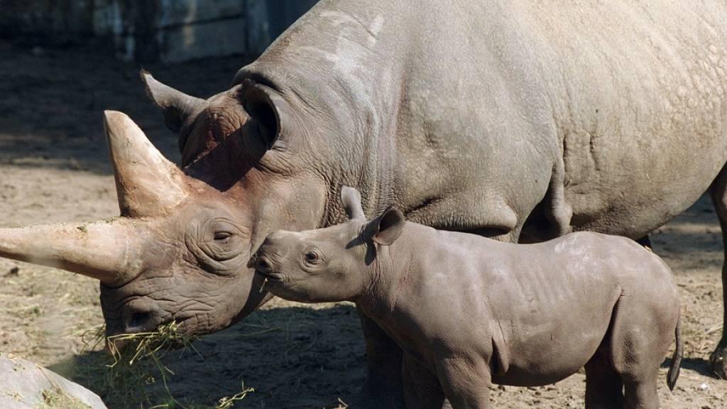 Ein Bild aus besseren Tagen: Baby «Sukari» küsst Nashorn-Mama «Kilaguni» im Berliner Zoo. Das weltweit älteste Spitzmaulnashorn ist nach Angaben des Zoos mit 46 Jahren gestorben. Das Nashorn brachte im Zoo fünf Jungtiere zur Welt. (KEYSTONE/DPA/Andreas Altwein)