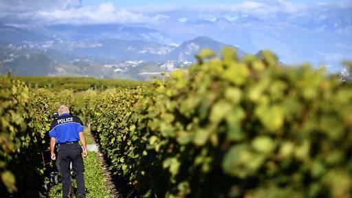 Diebe stehlen fast 8,3 Tonnen Weintrauben im Wallis