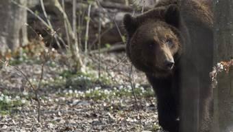 Ein Braunbär hat seine Pfoten möglicherweise auch auf Luzerner Boden gesetzt. (Symbolbild)