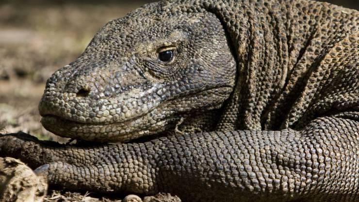 """Auf der indonesischen """"Drachen-Insel"""" Komodo sind laut dem Gouverneur der Provinz Touristen mit wenig Geld nicht mehr erwünscht. Auf Komodo sind knapp 1300 Komodo-Drachen oder -Warane  zu Hause, die bis zu vier Meter lang werden. (Archivbild)"""