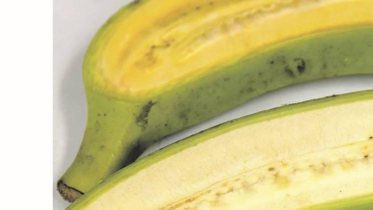 Die goldene, genmanipulierte Banane (oben) im Vergleich mit einer herkömmlichen Banane (unten).