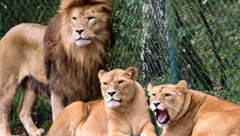 Eine Löwengruppe aufgenommen in einem Gehege im Serengeti-Park Hodenhagen am Südrand der Lüneburger Heide in Niedersachen. (Archiv)