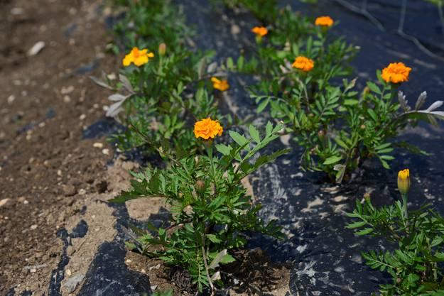 Die alte Tagetes-Sorte «Petite Orange» blüht bereits auf den Freiflächen.