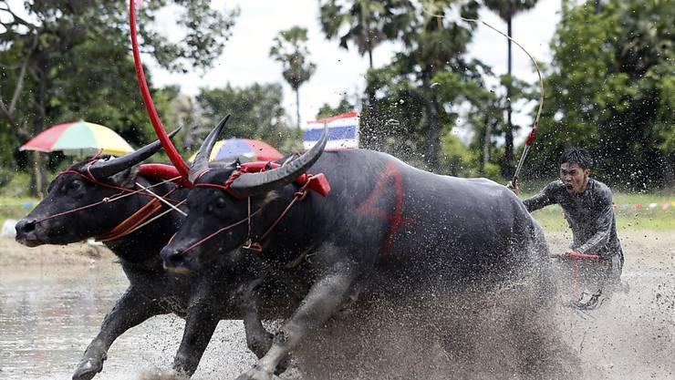 """Beim traditionellen Büffelrennen in Thailand rennen die sonst eher behäbigen Wasserbüffel für einmal mit """"Garacho"""" durch den Schlamm. (Archivbild)"""