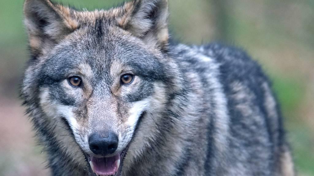 Insgesamt 210 Nachweise zum Wolf wurden dem Amt für Jagd und Fischerei Graubünden im März 2021 gemeldet. Besonders im Gebiet Rheinwald wurden vermehrt Wölfe in und um Siedlungen beobachtet. (Symbolbild)