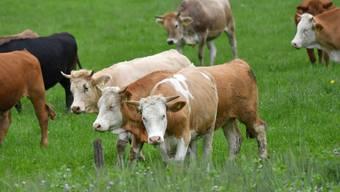 Rinder weiden auf einer Wiese. Geht es nach dem Bund, sollten sie dies auch bis kurz vor ihrem Tod tun können.