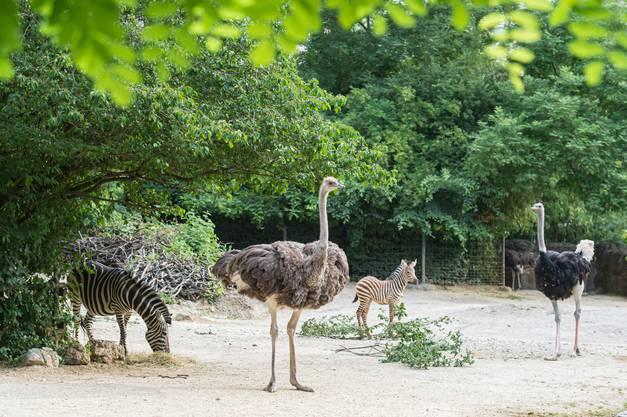Die Wohngemeinschaft mit den Zebras funktioniert bestens.