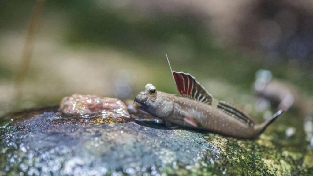 Ein Fisch, der sich an Land sehr wohl fühlt: der Indische Zwergschlammspringer.