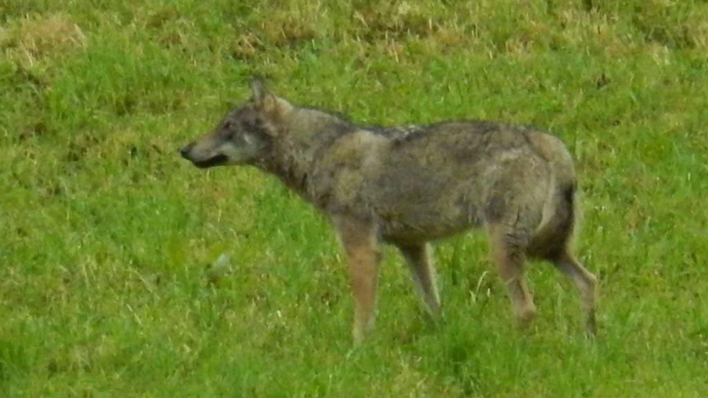 """Das """"hundeähnliche Tier"""", das eine Privatperson in Horgen am Montag fotografiert hat, war zweifelsfrei ein Wolf: Dies haben Fachleute nach einer Prüfung des Bildes festgestellt."""
