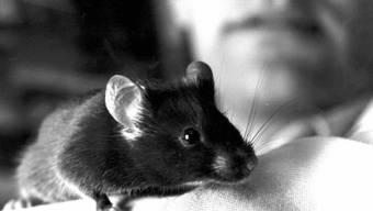 Eine Sorge weniger: Die Labormaus braucht sich jetzt dank Wiener Forschern kein Blut mehr abzapfen lassen zwecks Messung des Testosterons. Ein Stuhlgang reicht. (Archivbild)