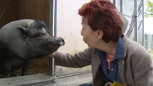 Wird das Minischwein zum Haustier-Liebling?