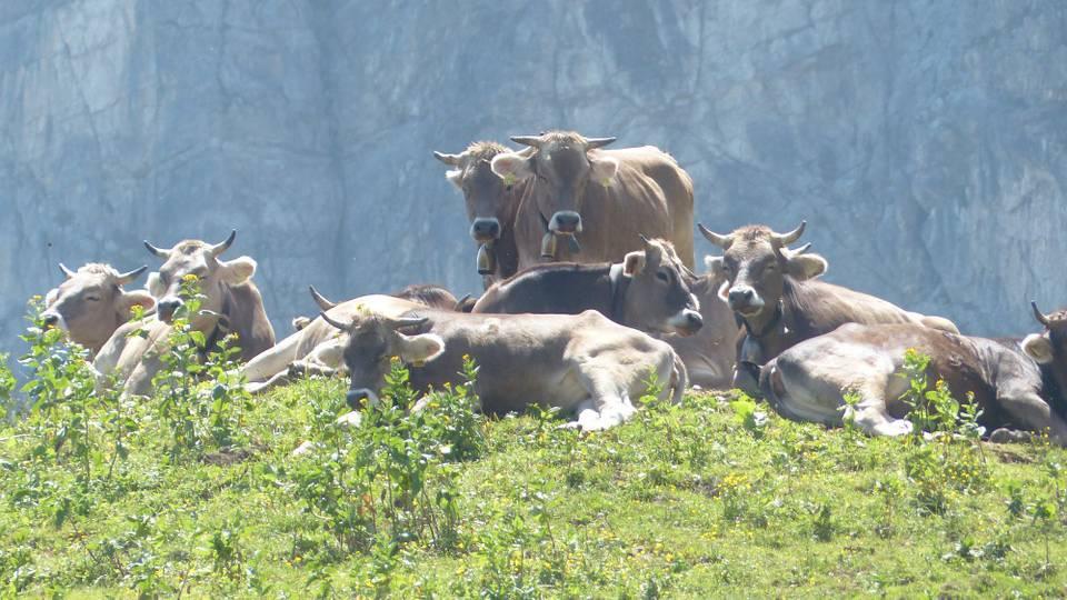 Wenn die Kuh zur Gefahr wird