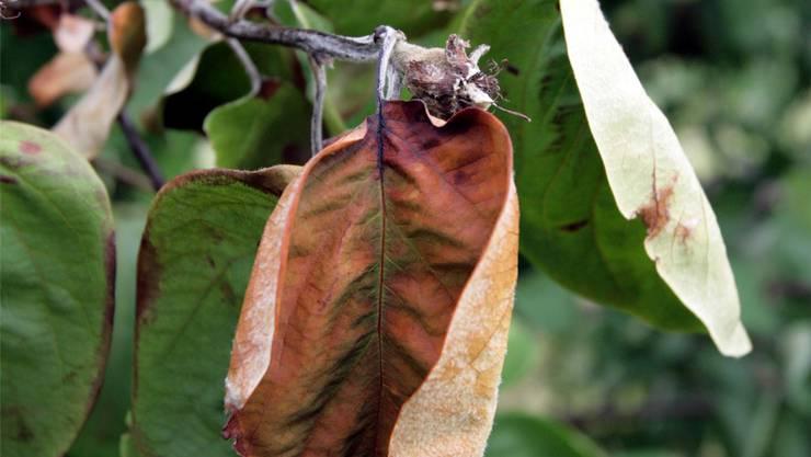 Ein Hochstamm-Apfelbaum, der mit Feuerbrand befallen ist. EQ Images