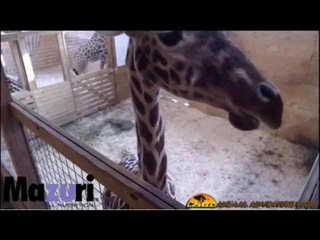 Warten auf den Nachwuchs: Giraffe April im Livestream.