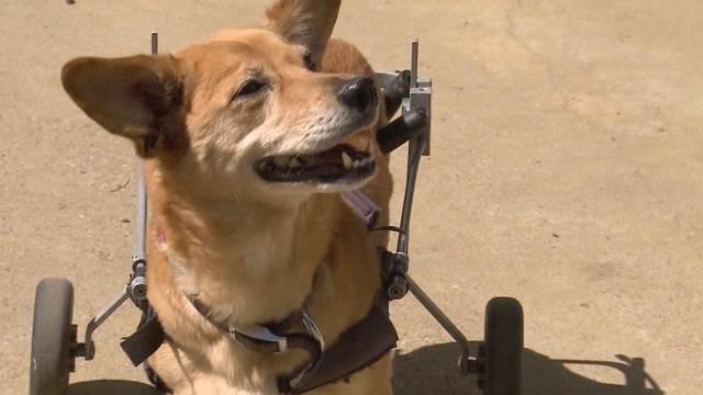 Eine Tierpsychologin aus Metzeleren vertreibt Hunde-Rollwagen. Damit will sie behinderten Hunden die Lebensfreude zurückgeben.