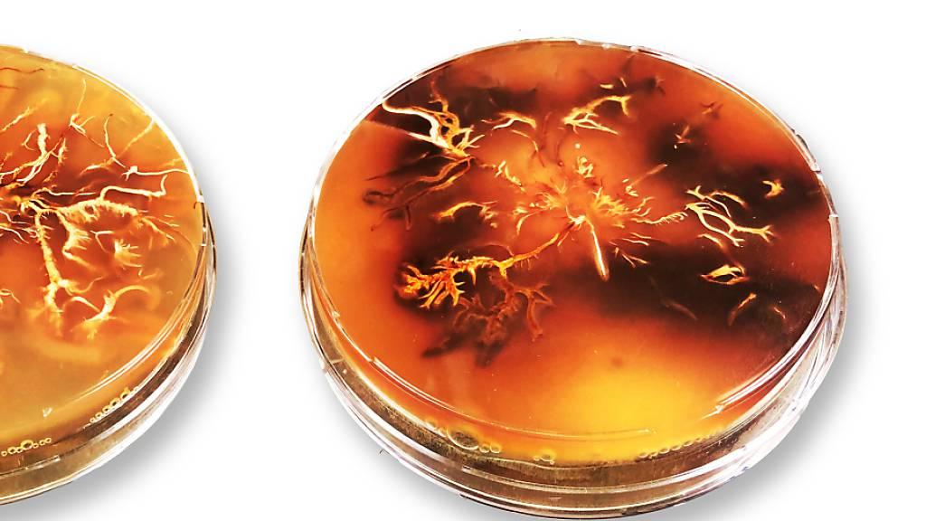 Eine Kultur des Hallimasch-Pilz in der Petrischale: Dunkle Areale enthalten besonders viel Melanin. (Pressebild)