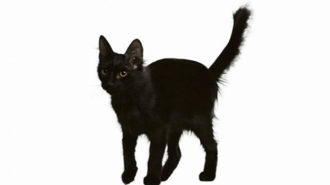 Achtung! Unglück! Die schwarze Katze, die den Weg von links kreuzt, ist für jeden Vierten ein ungutes Vorzeichen. Foto: HO
