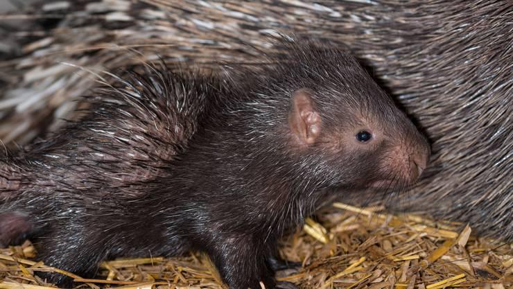 Am 6. April läuteten die Stachelschweine die Geburtenwelle ein.