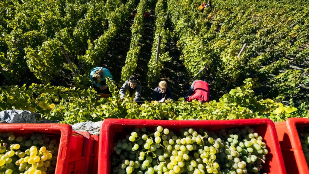 Weinlese im Wallis: Die Weinernte 2019 dürfte ergiebig ausfallen. (Archivbild)