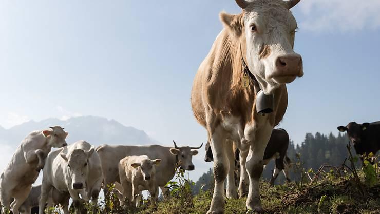 Die Rinderseuche Bovine Virus-Diarrhoe (BVD) tritt in der Schweiz wieder vermehrt auf, nachdem sie im Rahmen eines Bundesprogramms fast ausgerottet worden war. (Archivbild)