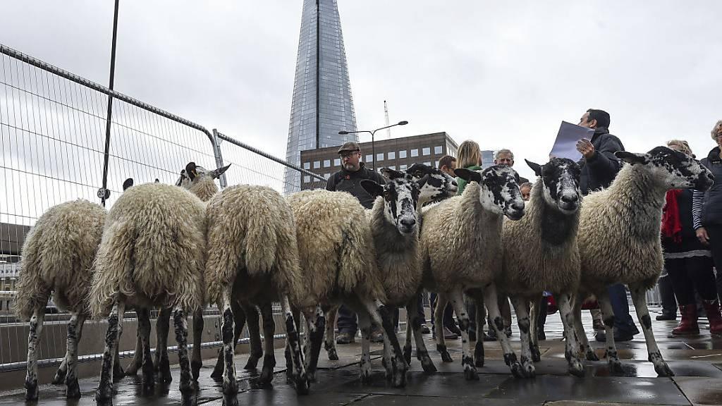 Blökende Schafe auf der London Bridge