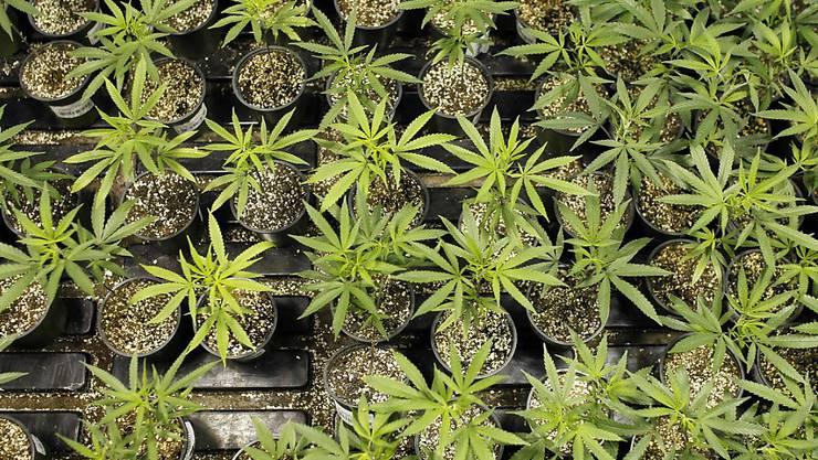 Die Polizei stellte nach einem Tipp des Sohnes 19 Cannabispflanzen im Garten seiner Familie sicher. (Symbolbild)