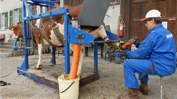 Martin Hubeli schneidet Kuh Halma die «Nägel».