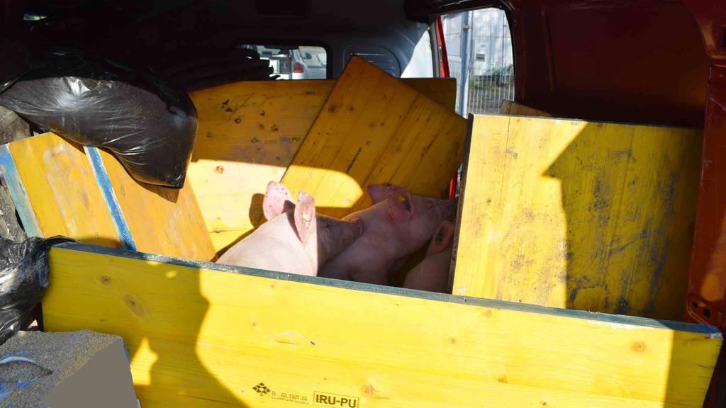 Mann transportierte Schweine in Lieferwagen