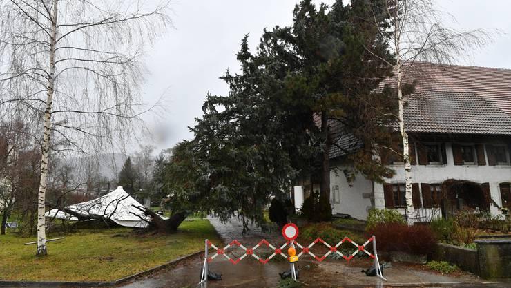 Tanne in arger, gefährlicher Schieflage und Partyzelt-Dach auf Abwegen an der Dorfstrasse in Neuendorf.