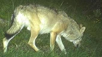 Fotofalle zeigt Calanda-Wolf (Bild: Amt für Jagd und Fischerei GR)