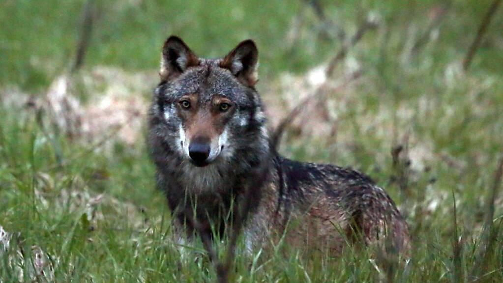 Im Kanton Graubünden hat die Wildhut einem Wolf einen Sender umgehängt. Die Behörden versprechen sich davon Daten über den Aufenthaltsort des Tieres (Themenbild).