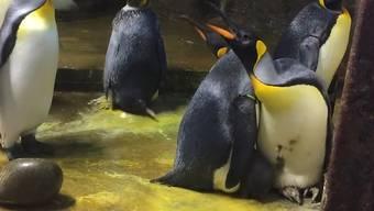 Schwules Pinguinpaar entführt Jungtier – erst die Tierpflegerin kann den Streit schlichten