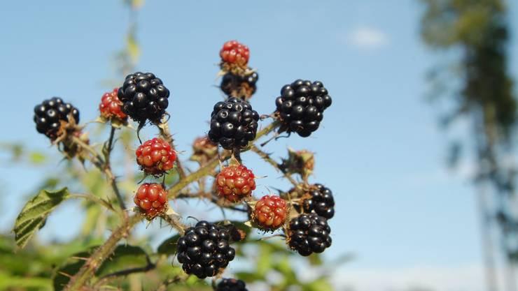 Nicht nur Brombeeren, auch andere Wildfrüchte sollen im grösseren Stil angebaut werden. Foto: Walter Schwager