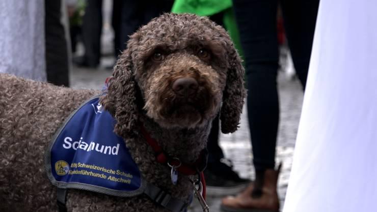 Ausgebildet: Gino ist ein Sozialhund.