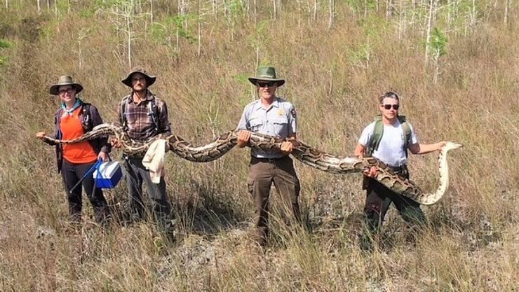 Gross genug, um einen Hirsch zu verschlingen: das im US-Bundesstaat Florida gefundene Riesen-Python-Schlangenweibchen.