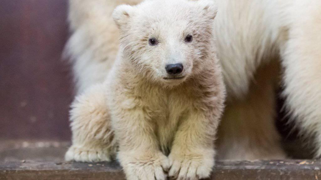 Das Berliner Eisbären-Baby Fritz ist gestorben. (Archiv)