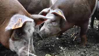 bz-Namenswettbewerb Schweine