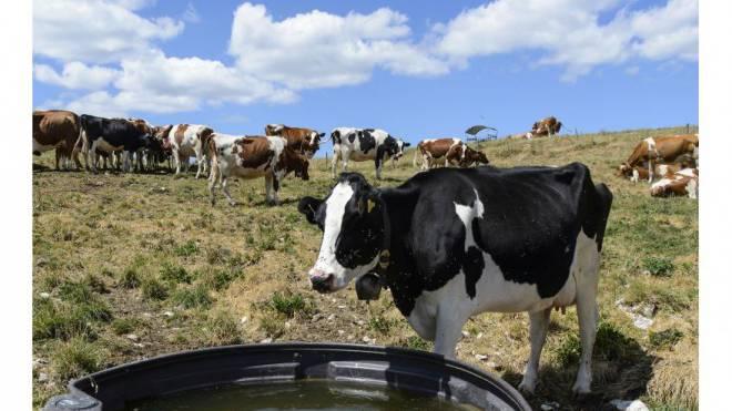 Wegen der Hitze wuchs weniger Gras auf den Weiden – die Kühe mussten mehr Heu fressen, was sich negativ auf ihre Milchleistung auswirkte. Foto: Keystone