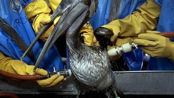 Ein brauner Pelikan wird von Öl befreit