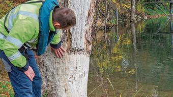 Bei der Uferpflege sind die Energiedienst-Mitarbeiter zuweilen auch auf den Spuren des Bibers.